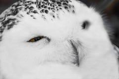 Schließen Sie herauf Porträt der netten schläfrigen Schneeeule, die mit Auge blinkt Stockfotografie