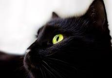 Schließen Sie herauf Porträt der schwarzen Katze Stockbilder