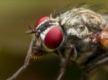 Schließen Sie herauf Porträt der Stubenfliege mit hellen roten Augen Stockfoto