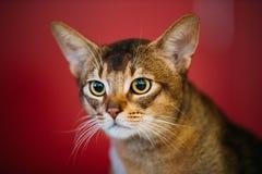 Schließen Sie herauf Porträt des Abyssiniers Cat Kitten Stockfoto