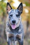 Schließen Sie herauf Porträt des australischen Viehhundes Lizenzfreie Stockfotos