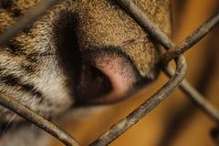 Schließen Sie herauf Porträt des gefährdeten Tigers, der durch Käfig schaut Lizenzfreie Stockfotografie