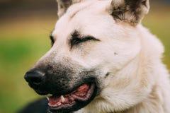 Schließen Sie herauf Porträt des jungen glücklichen osteuropäischen Schäferhundes stockfotografie