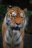 Schließen Sie herauf Porträt des reifen Mannes des sibirischen Tigers Stockfotografie