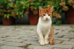 Schließen Sie herauf Porträt des roten Kätzchens lizenzfreie stockfotos