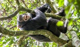 Schließen Sie herauf Porträt des Schimpansen (Pan-Höhlenbewohner) mit dem offenen Mund, der auf dem Baum im Dschungel stillsteht Stockfotografie