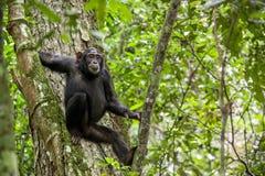 Schließen Sie herauf Porträt des Schimpansen u. des x28; Pan-Höhlenbewohner u. x29; Stillstehen auf dem Baum im Dschungel Lizenzfreies Stockbild
