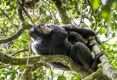 Schließen Sie herauf Porträt des Schimpansen u. des x28; Pan-Höhlenbewohner u. x29; Stillstehen auf dem Baum im Dschungel Stockfotografie