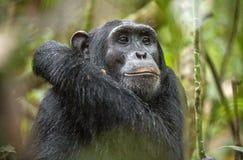 Schließen Sie herauf Porträt des Schimpansen u. des x28; Pan-Höhlenbewohner u. x29; Stillstehen im Dschungel Stockfotografie