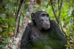 Schließen Sie herauf Porträt des Schimpansen u. des x28; Pan-Höhlenbewohner u. x29; Stillstehen im Dschungel Stockfotos