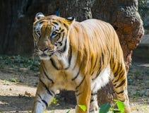 Schließen Sie herauf Porträt des Tigers lizenzfreie stockfotografie