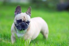 Schließen Sie herauf Porträt einer französischen Bulldogge Stockfotografie