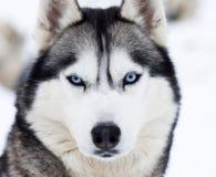 Schließen Sie herauf Porträt eines Hundes Stockfotos