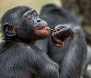 Schließen Sie herauf Porträt eines jugendlichen Bonobo CUB eines Schimpanse Bonobo (Pan-paniscus) Stockbilder
