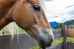 Schließen Sie herauf Porträt eines schönen Haflinger-Pferds Stockfotografie