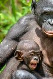 Schließen Sie herauf Porträt-Mutter und CUB von Bonobo Stockbild