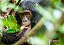 Schließen Sie herauf Porträt von alten Schimpanse Pan-Höhlenbewohnern Lizenzfreie Stockfotos