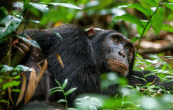 Schließen Sie herauf Porträt von alten Schimpanse Pan-Höhlenbewohnern Lizenzfreie Stockfotografie