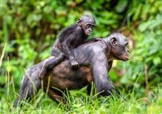 Schließen Sie herauf Porträt von Bonobo CUB auf der Mutter ` s Rückseite Stockbild