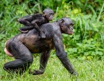 Schließen Sie herauf Porträt von Bonobo CUB auf der Mutter ` s Rückseite im natürlichen Lebensraum Lizenzfreie Stockfotografie