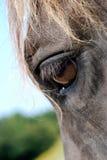 Schließen Sie herauf Porträt von Brown-Pferd Stockfotos