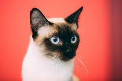 Schließen Sie herauf Porträt von der Mekong-Bobtail Cat Kitten At Red Background Lizenzfreie Stockbilder