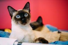 Schließen Sie herauf Porträt von der Mekong-Bobtail Cat Kitten At Red Background Stockbilder