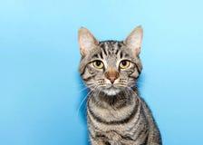 Schließen Sie herauf Porträt von einer schwarzen und grauen gestreiften Katze der getigerten Katze lizenzfreie stockfotografie
