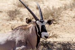 Schließen Sie herauf Porträt von Gemsbok, Oryx Gazella Stockfoto