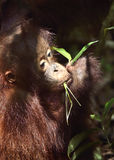 Schließen Sie herauf Porträt von Orang-Utan Jungem Stockfoto