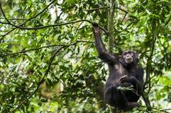 Schließen Sie herauf Porträt von Schimpanse Pan-Höhlenbewohnern, die auf dem Baum im Dschungel stillstehen Lizenzfreies Stockfoto