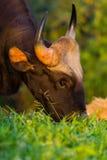 Schließen Sie herauf Porträt von wildem Gaur Stockfotos