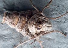 Schließen Sie herauf Porträt Wingless weiblicher Fall Cankerworm-Motte auf Blauem Stockfotos
