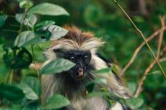 Schließen Sie herauf Porträtaffe dichten tropischen Wald roten Colobus Lizenzfreie Stockfotos