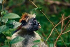 Schließen Sie herauf Porträtaffe dichten tropischen Wald roten Colobus Lizenzfreies Stockfoto
