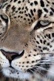 Schließen Sie herauf Portrait eines persischen Leoparden Stockbild