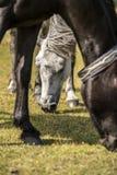 Schließen Sie herauf portret des weißen Ponys in neuem Forest National Park Stockfotografie