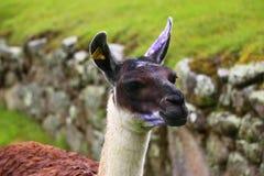 Schließen Sie herauf porttrait des Lamas lizenzfreie stockbilder