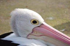 Schließen Sie herauf Profil eines Pelikans Lizenzfreie Stockfotografie