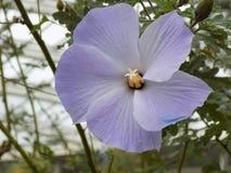 Schließen Sie herauf purpurrote Blume mit unscharfem Hintergrund innerhalb eines Gebäudes Stockbild