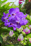 Schließen Sie herauf purpurrote Orchideenblume Stockfotografie