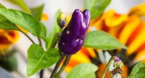 Schließen Sie herauf purpurroten Paprikapfeffer Lizenzfreie Stockbilder