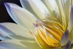 Schließen Sie herauf purpurroten und gelben Lotos in der Natur Stockfotografie