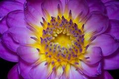 Schließen Sie herauf purpurroten und gelben Lotos in der Natur Stockbilder