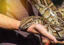 Schließen Sie herauf Pythonschlange bivittatus oder birmanische Pythonschlangenschlange lizenzfreie stockfotos