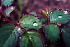 Schließen Sie herauf Regentropfen auf dem Urlaub von Rosen an einem regnerischen Tag lizenzfreie stockfotografie