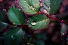 Schließen Sie herauf Regentropfen auf dem Urlaub von Rosen an einem regnerischen Tag stockfoto