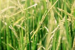Schließen Sie herauf Reisfeld Lizenzfreie Stockfotos