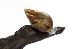 Schließen Sie herauf Riese Achatina-Schnecke auf Klotz Stockfoto