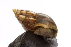 Schließen Sie herauf Riese Achatina-Schnecke auf Klotz Lizenzfreie Stockbilder